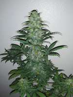 Pic for Gas Hog Auto (360grow420 Genetics)