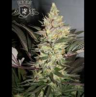 Alphakronik Genes Alpha Dawg - photo made by SeedMan91