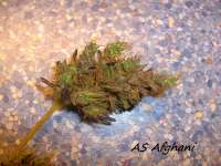 Picture from Stamina (Afghani Landrasse)