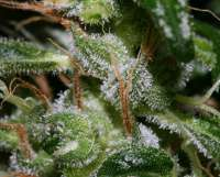 Ghana Landrasse (Picture from alpineseeds1..)
