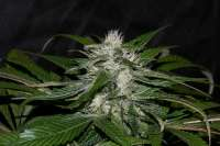 Picture from AlpineSeeds (Sweet Chunk)