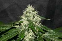 Picture from alpineseeds11 (Sweet Chunk BX1)