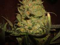 Picture from MrOrganic (Sweet Tooth 3 BX1)
