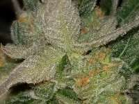 Barneys Farm Cookies Kush - photo made by Tappy01