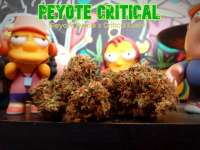 Picture from Justin108 (Peyote Critical)