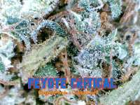 Barneys Farm Peyote Critical - photo made by Justin108