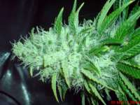 Big Buddha Seeds Cheese Dawg - photo made by JAHJAHChildren