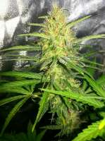 Picture from BigdogsSeeds (Silver Rocket)