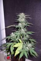 Black Skull Seeds Diesel Matic - photo made by cheifyc