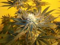 Bodhi Seeds NL5 x Talk of Kabul - photo made by gudkarma