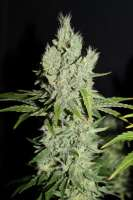 Cannabella Seed Club G13 Super Silver Haze - photo made by CannabellaSeedClub