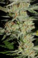 Cannabella Seed Club Lemon Cream Pie Haze - photo made by CannabellaSeedClub
