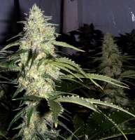 Ceres Seeds Ceres Skunk - photo made by FlashGordon