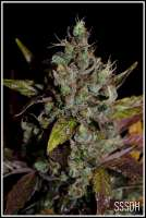 Connoisseur Genetics SSSDH - photo made by admin