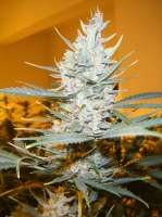 Cream of the Crop Seeds Amphetamine - photo made by SeedMan91