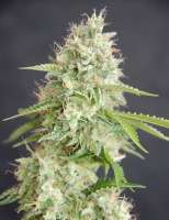 Cream of the Crop Seeds Double Cream - photo made by SeedMan91
