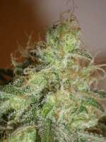 Cream of the Crop Seeds White Chronic - photo made by SeedMan91