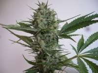 Blue Widow (Picture from merlin..)