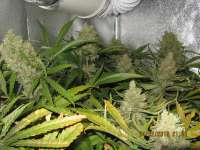 Picture from guerillagrower (Critical Jack)