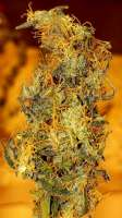 Dr. Krippling Seeds Incredible Bulk Auto - photo made by Tgg5765
