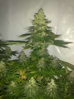 Picture from prayer (White Widow)