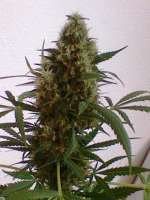 Picture from nygrr (White Widow)
