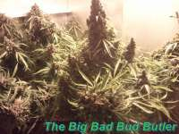 Picture from Schatenstein (Automatic Mega Bud)