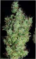 Green House Seeds Himalaya Gold - photo made by SativaFred