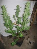 Green House Seeds Sweet Mango Automatic - photo made by CiliH