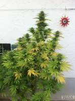 Green House Seeds White Rhino - photo made by admin