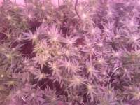 Green House Seeds White Rhino - photo made by plaanten