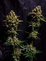 Hidden Garden Genetics Marra Jones - photo made by hiddengardengenetics