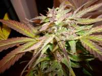 Pic for Blue Dream (Humboldt Seed Organisation)