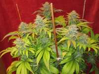 LEDSeedz Bodhi Tree - photo made by Grower13