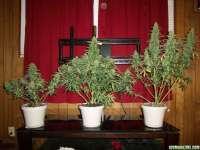 Lowlife Seeds Automatic AK47 x New York City Diesel - photo made by 420GT