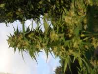 Medical Seeds Co. Devil Fruit - photo made by doubletap