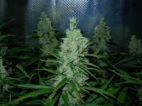 Picture from Nushaba (Super Silver Haze)