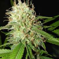 New420Guy Seeds 859 Granddaddy's Blue Cheese - photo made by new420guy