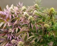 New420Guy Seeds Pauls Crystal Aurora Auto - photo made by new420guy