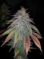 New420Guy Seeds Purple Berry Playboy - photo made by new420guy