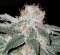 Picture from SativaFred (Aurora Indica)