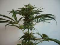Picture from merlin (Aurora Indica)