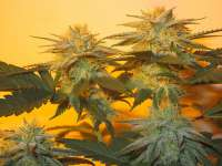 Picture from BlackHippy (Super Glue)