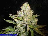 Picture from HighSeed (Magic Bud)