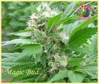 Picture from SativaFred (Magic Bud)