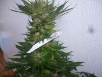 Paradise Seeds Mendocino Skunk - photo made by merlin