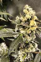 Reservoir Seeds Sour Diesel IBL - photo made by hcogolloo