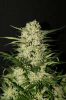 Royal Queen Seeds Northern Light - photo made by meineimer
