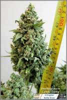 SeedStockers Candy Dawg Autoflower - photo made by Frogster