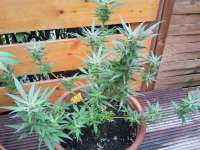 Picture from sunny2 (White Russian Autoflowering Nr1)